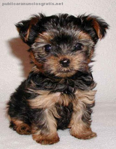 yorkshire_terrier%20cachorro%201